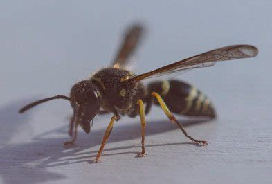 hornet  wasps types facts    identify