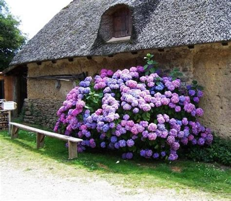 Landscaping Ideas Hydrangeas 1000 Images About Hydrangea And Viburnum On