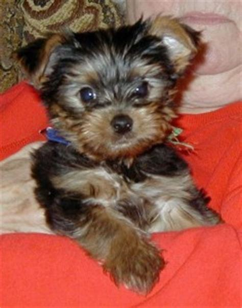 teacup yorkies for sale in pittsburgh pa dogs pittsburgh pa free classified ads