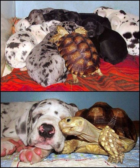 sulcata tortoise bedding best 25 sulcata tortoise ideas on pinterest tortoise