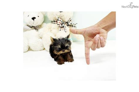 yorkies for sale in richmond va teacup yorkie for sale in virginia breeds picture