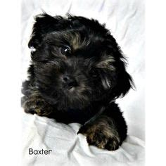 yorkie puppies for sale in huntsville alabama 1000 images about yorkie poos on yorkie yorkie poo puppies and dogs
