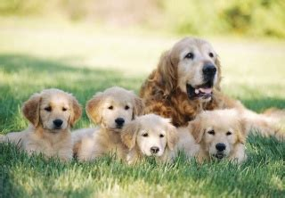 weaning golden retriever puppies mastitis in dogs