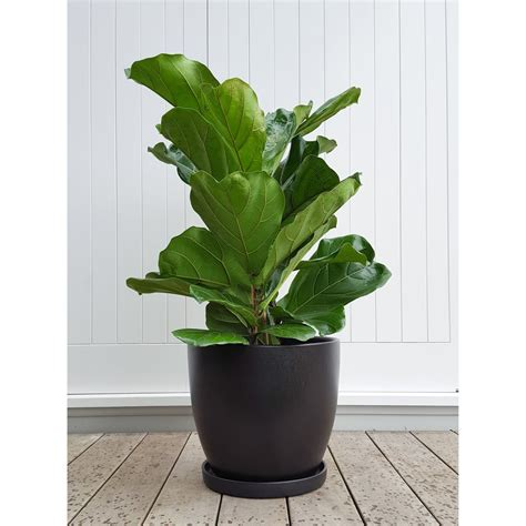 indoor plant pot fiddle leaf fig in ceramic plant pot with saucer