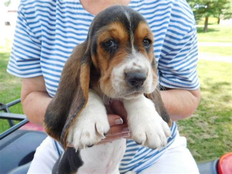 basset hound puppies for sale in illinois akc registered basset hound puppies for sale sandyhill basset hounds