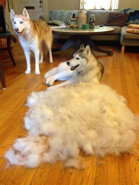 Husky Shed by Furminator Reviews And How To Use It Mini Husky