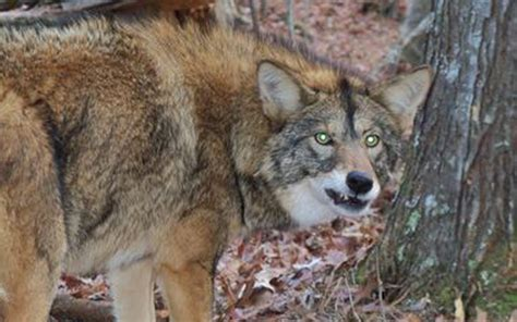 coyote attacks fatal coyote attacks related keywords fatal coyote attacks keywords
