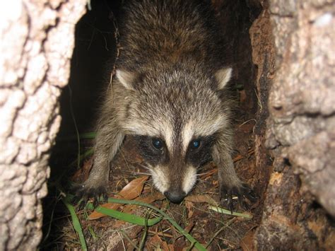 how to a coon to tree a raccoon winter park florida animal wildlife trapper bats rats squirrels
