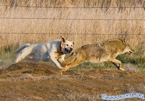 are coyotes dogs wolf vs fight