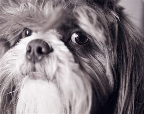 shih tzu knee problems shih tzu knee problems pets and foster pets