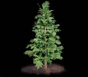 Large Artificial Topiary Trees - outdoor artificial cedar tree 6 commercial silk int l