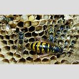 Queen Wasp Compared To Normal Wasp | 1024 x 639 jpeg 912kB