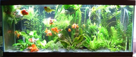 aquarium design group goldfish gallery fancy goldfish tank ideas