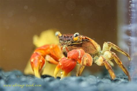 red claw crab red clawed crab care freshwater crab red claw crab photos shrimp tank