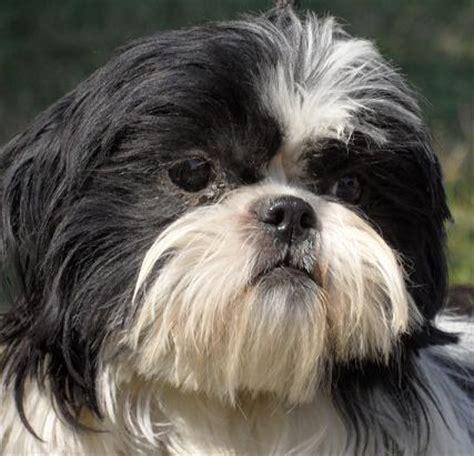 adopting a shih tzu chiot shih tzu 224 adopter dans la r 233 gion midi pyr 233 n 233 es