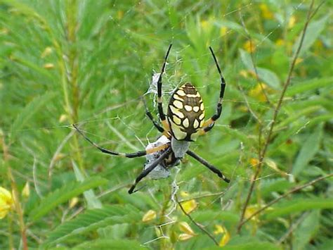 Black And Yellow Garden Spider by File Black And Yellow Garden Spider Jpg