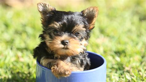 how will my yorkie live the pet collective