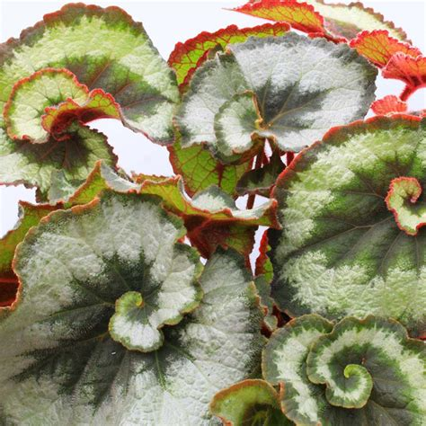 begonia plant escargot all flower plants flower