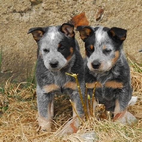 and blue heeler puppies heeler pictures and photos australian cattle