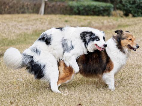 hunde decken hunde und ihr paarungsverhalten was passiert beim deckakt