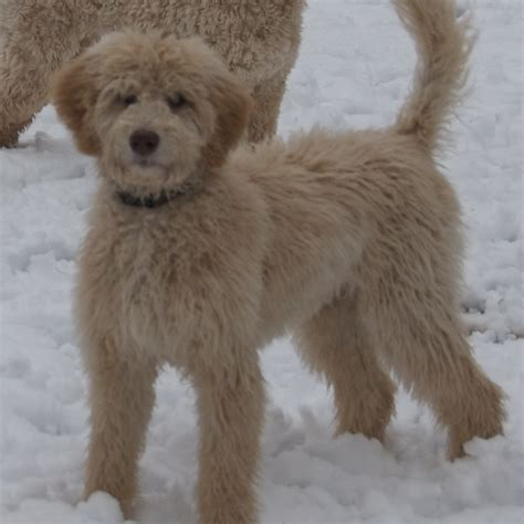 Labradoodle Shed by Keywords Labradoodle Shedding And Tags