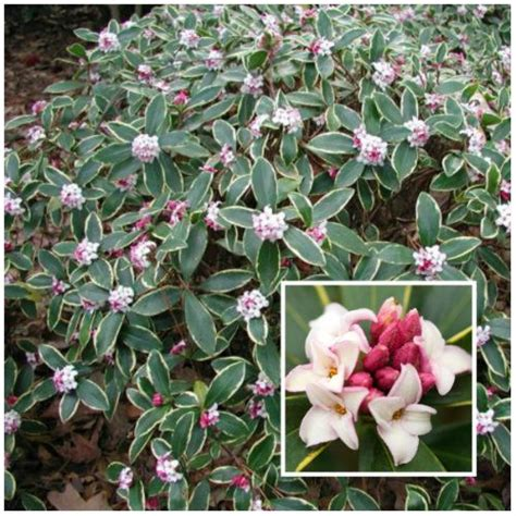 most difficult plants to grow the 25 best daphne plant ideas on pinterest daphne