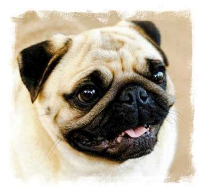 pug rescue knoxville tn pug eye ulcers rearing orphan puppies pug rescue breeds picture