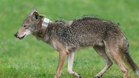 coyote kills dog  buena park ca home owner