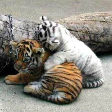 baby tiger with big tiger with images baby orange and white tigers together animals