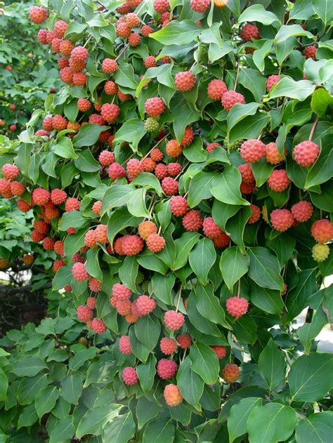 dogwood tree fruit edible 17 best images about heirloom edibles on