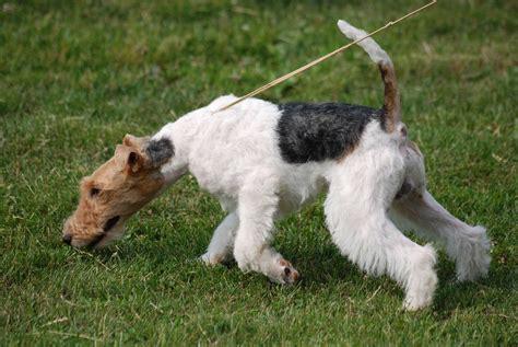 fox terrier plik fox terrier wire r 01 jpg wolna encyklopedia