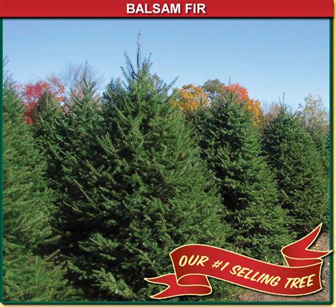balsam fir wisconsin tree guy