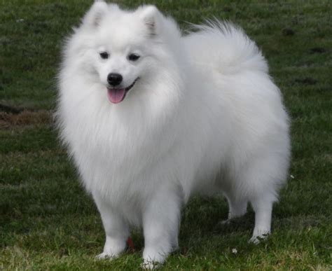 what type of is doge spitz type dogs