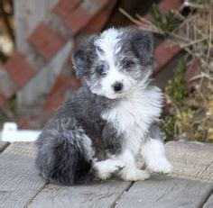 aussiepoo puppies this is the next we re getting hopefully soon gorgeous blue merle mini