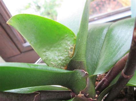 Schädlinge An Orchideen 3552 by Sch 228 Dlinge An Meinen Phalaenopsen Orchideenforum