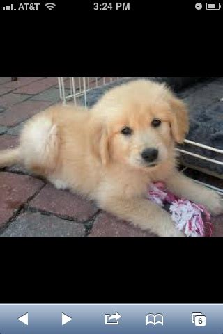 golden retriever puppies spartanburg sc 8 best images about dogs on poodles miniature and in