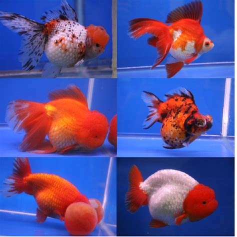 Amazon Home Decor ranchu amazing amazon
