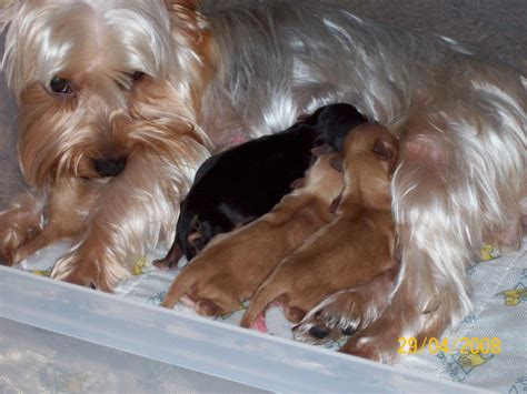 newborn yorkie puppies for sale image gallery newborn yorkies
