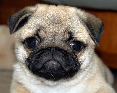 pics of puppy pugs adorable pug puppies images search