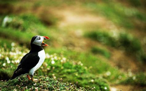 26 stunning hd puffin bird wallpapers hdwallsource com