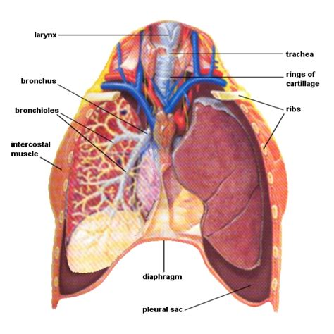cross section of lung massagetherapy