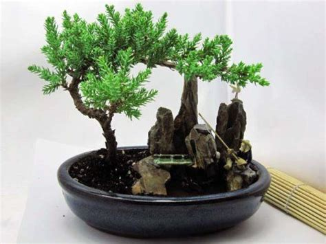 mini desk tree miniature garden for your desk juniper tree