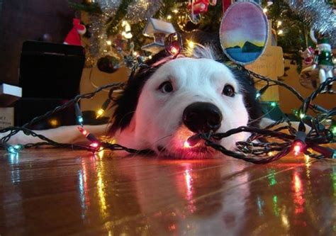 my pet ate the christmas tree and other december holiday
