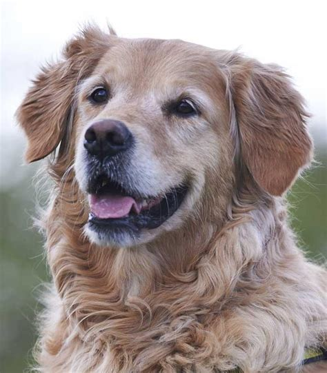 dogs trust golden retriever sponsor a lollipop golden retriever dogs trust