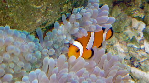 anemone finding nemo clown fish and anemone finding nemo fish in salt water