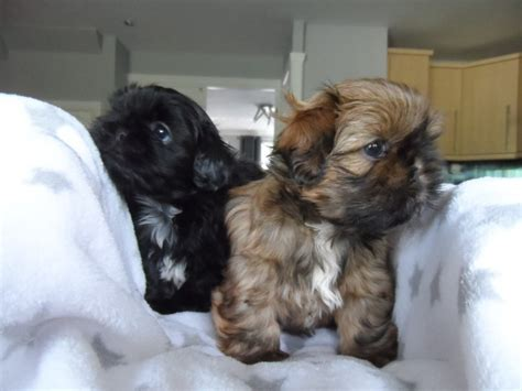shih tzu puppies for sale in sheffield gorgeous shih tzu puppies sheffield south