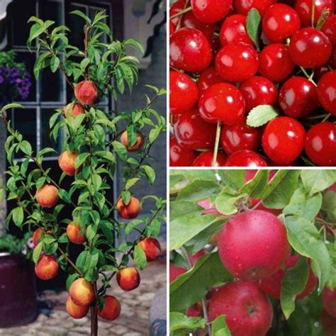 Patio Fruit Tree by Buy Patio Fruit Tree Collection 3 Trees 1 Of Each