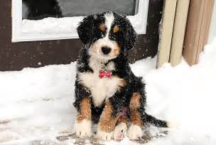 Puppies displaying 19 images for bernedoodle puppies toolbar creator