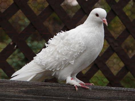 dove birds barter