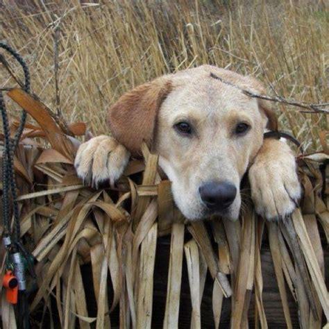 goose boat dog 31 best hunting duck blind images on pinterest duck